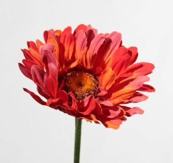 Gerbera Natural Flower