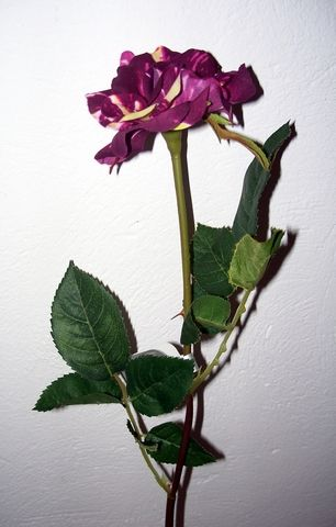 Rose Single Stem
