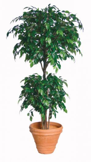 Ficus Natasha Tropical Tree