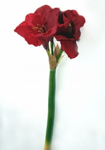 Amaryllis Real Touch