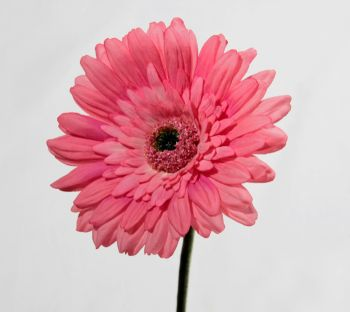 Gerbera Deluxe Flowers Range (Real Touch)