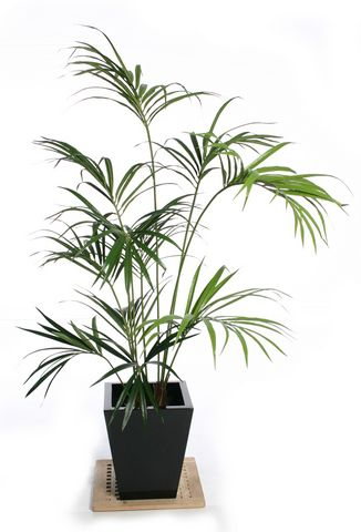Kentia Palm IFR