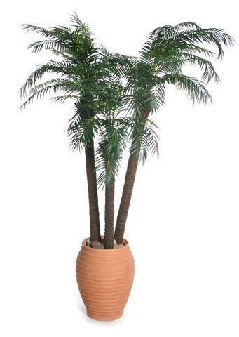 Robellini Palm IFR
