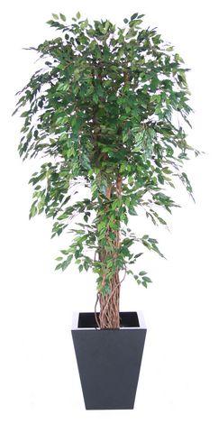 Ficus Hawaiian Liana