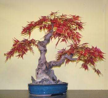 Maple, Japanese Bonsai Tree