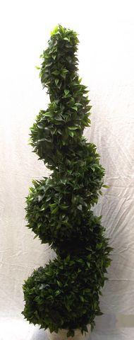 Ficus Spiral Tree