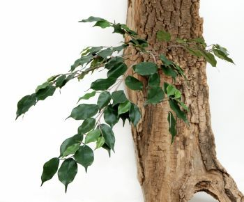 Ficus Spray IFR