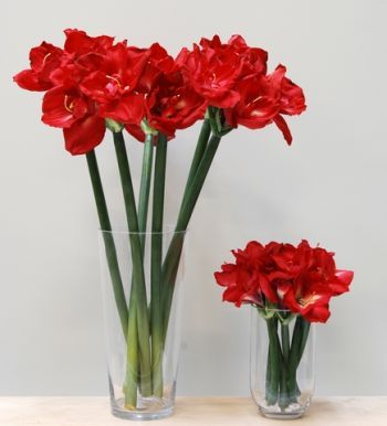 Queen Amaryllis (Real Touch)
