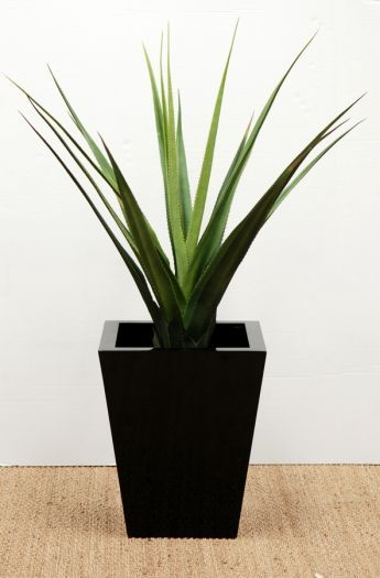 Aloe Vera Pandanus Plants