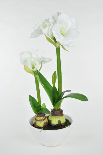 Amaryllis in White Bowl
