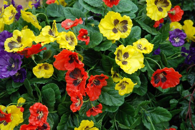 Close up of red, yellow and blue pansies
