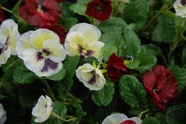 Close up of Burgundy and White Pansies