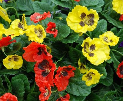 Close up of Red and Yellow Pansies