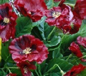 Close up of Burgundy Pansies