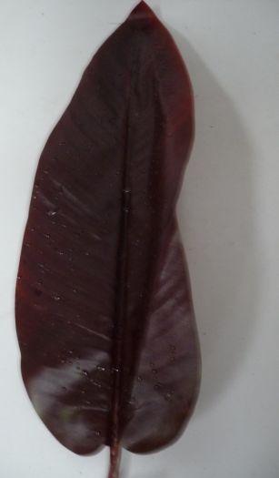 Amazon Raindrop Canna Leaf