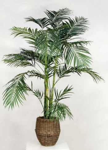 Areca Palm Tree in Pot
