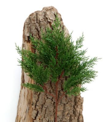 Cedar/Cypress  Spray