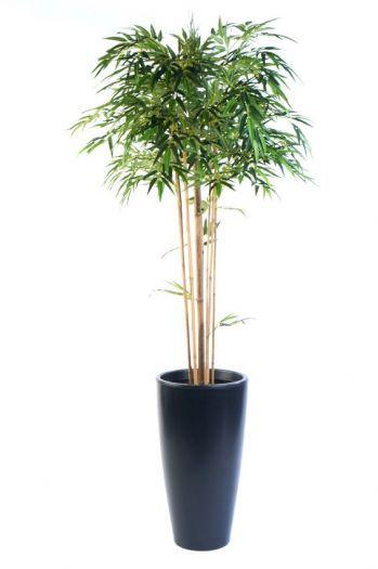 Bamboo Mophead Tree
