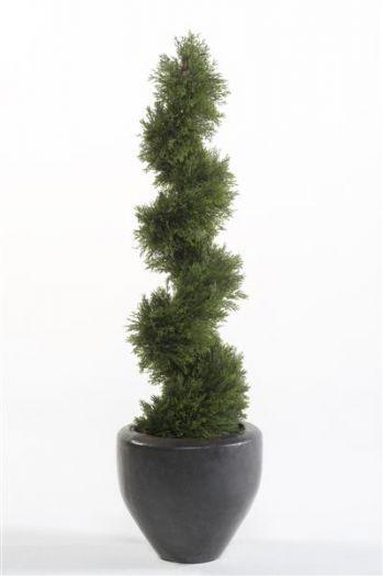 Cypress Spiral Tree