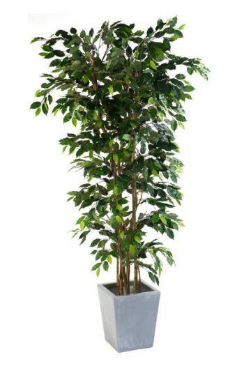 Ficus Nitida Premium Bush
