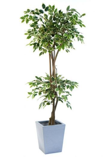 Ficus Umbrella Double Ball Tree