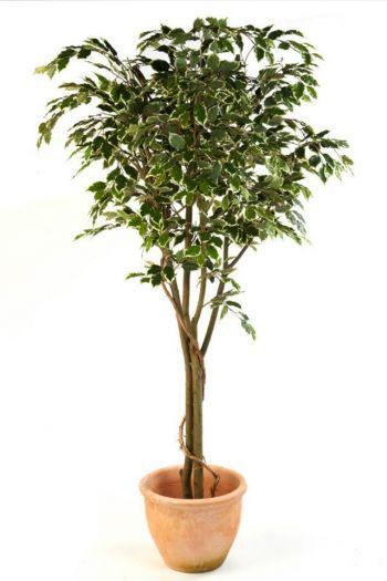 Ficus Benjamina Vine Tree IFR
