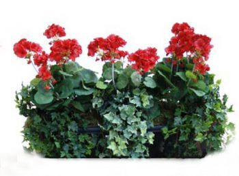 Geranium Trough