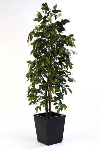 Ficus Cane Tree
