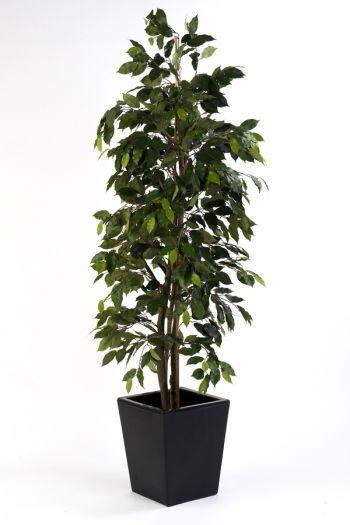Ficus Cane Tree IFR