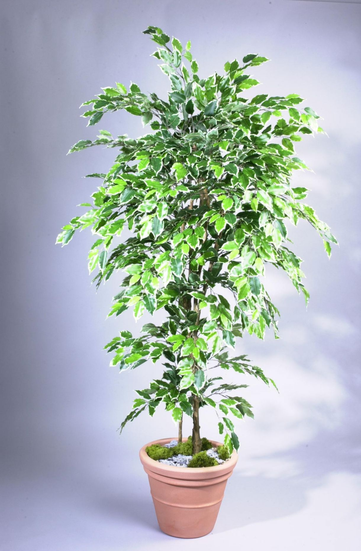 Artificial Silk Ficus Nitida Premium Bush Fr Just