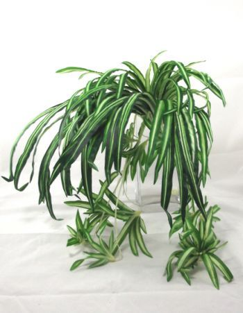 Spider Plant with Babies