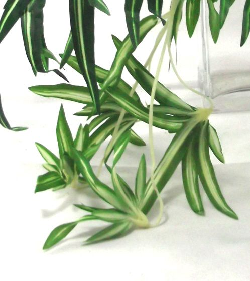 Close Up Of Spider Plant Babies