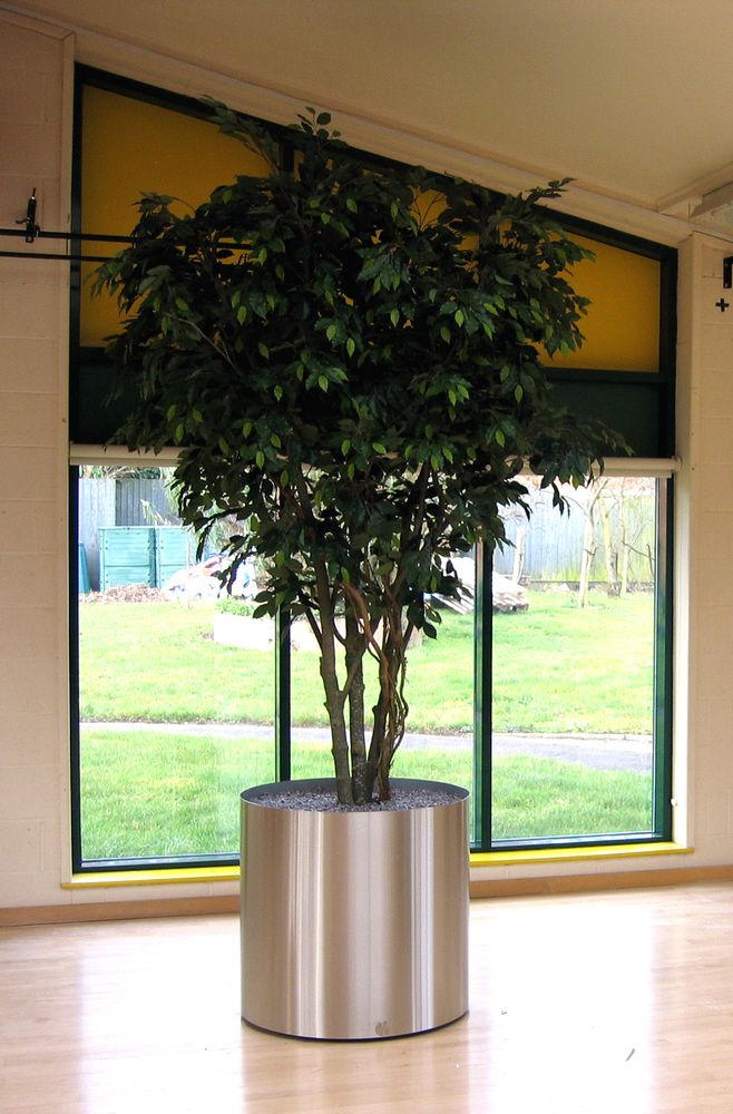 Showing our 9ft Large Hand built Green Ficus with multi stems, finished off in a Stainless Planter for illustration purposes.