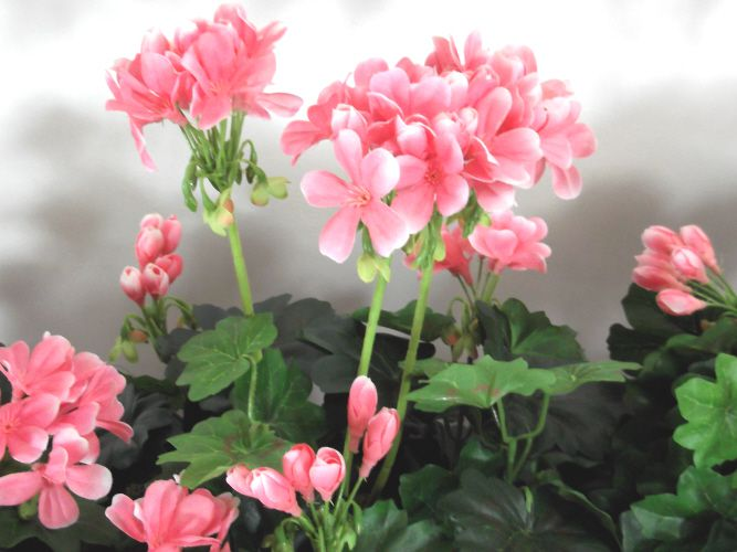 Close up of Geraniums