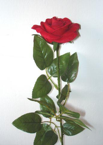 Rose, Velvet