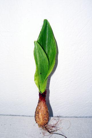 Tulip Leaf with Bulb