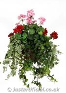 Geranium Large Hanging Basket
