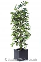 Ficus Cane Tree FR - Image Caption: Showing our Artificial Silk Ficus Cane Tree FR, (in a planter for illustration purposes only).