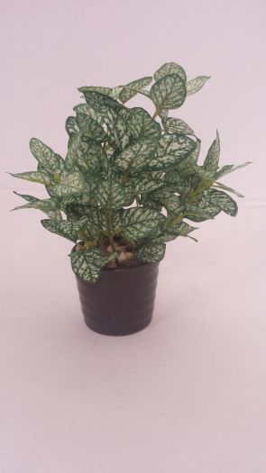 Fittonia in Ceramic Pot