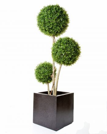 Boxwood Triple Stemmed Ball Tree