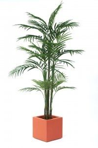 Areca Palm Tree Display