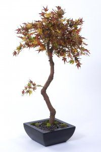 Autumn Mini Acer in Trapezoid