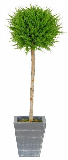 Cedar Single Ball Tree in Lead Look Planter