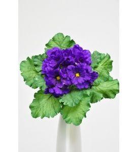 African Violet Bush