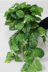 Pothos Deluxe Bush Trail