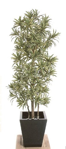 Dracaena Reflexa, Song of India IFR