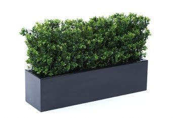 Boxwood Bushes in Window Box