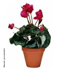 Cyclamen Bushes