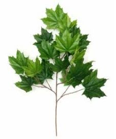 North American Maple Leaf FR