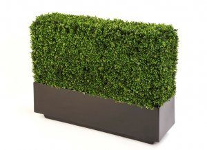 Boxwood Hedge in Fibreglass Trough